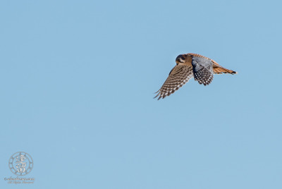 American Kestrel (Falco sparverius) hovering above prey in cloudless blue sky.