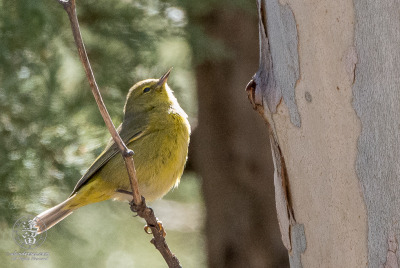 Orange-crowned Warbler (Oreothlypis celata) looking for lunch beneath peeling bark of Sycamore tree.