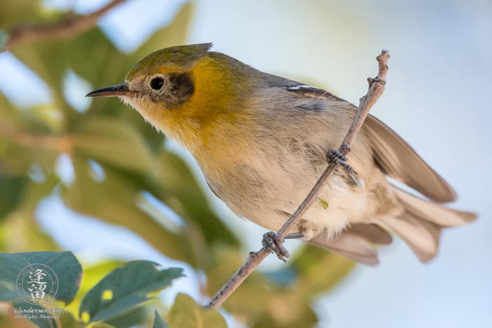 Olive Warbler (Peucedramus taeniatus) perched in oak tree.