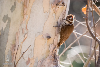 Arizona Woodpecker (Picoides arizonae) clinging to side of Sycamore tree.