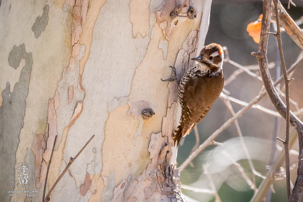 Arizona Woodpecker (Picoides arizonae) clinging to side of Sycamore tree.
