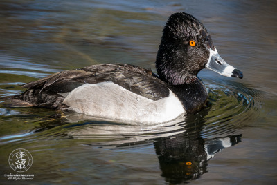 Ring-necked Duck (Aythya collaris) swimming in pond.