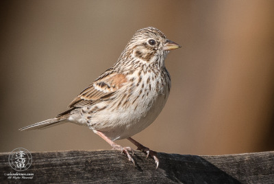 Vesper Sparrow (Pooecetes gramineus) perched on split-rail fence.