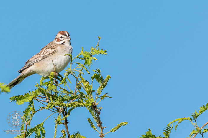 A Lark Sparrow (Chondestes grammacus) perched in a Mesquite tree near the small Duck Pond at Brown Canyon Ranch in Sierra Vista, Arizona.