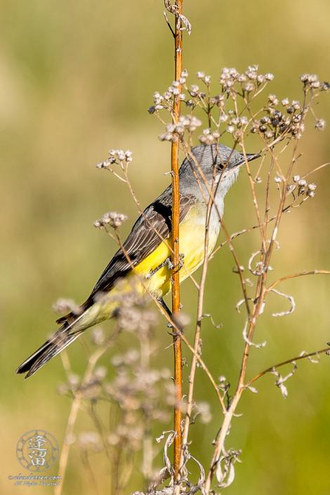 Western Kingbird (Tyrannus verticalis) perched on a dead flower stalk.