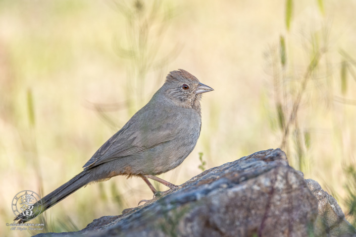 Canyon Towhee (Melozone fusca) perched on rock.