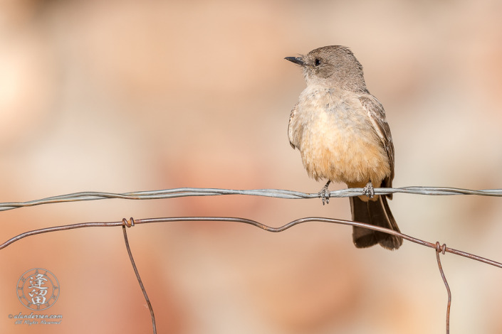 Say's Phoebe (Sayornis saya) lit by early morning sunlight perched on wire ranch fence.