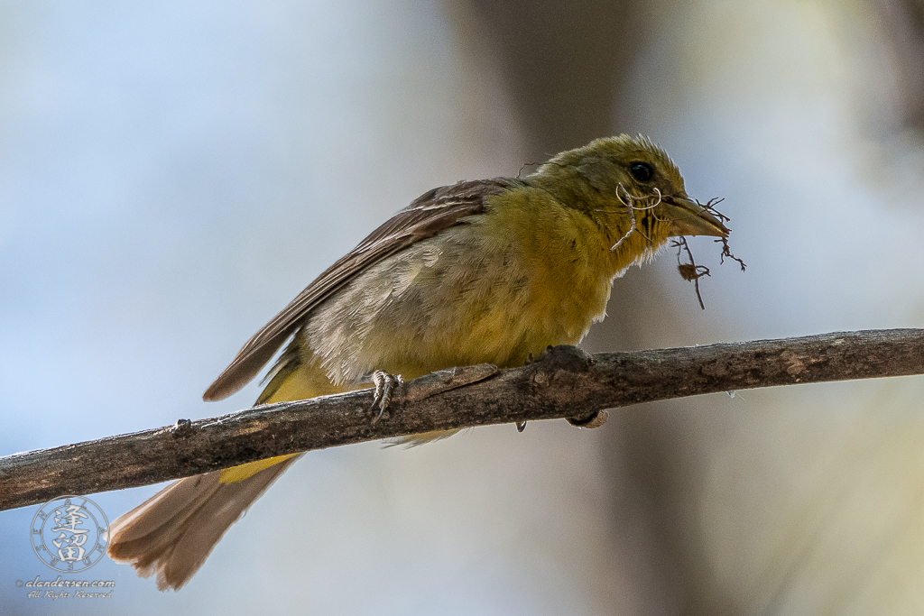 Female Western Tanager (Piranga ludoviciana) perched on dead tree branch with nesting material in bill.