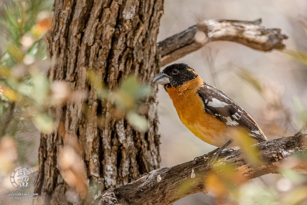 Black-headed Grosbeak (Pheucticus melanocephalus) perched on an Oak tree limb.