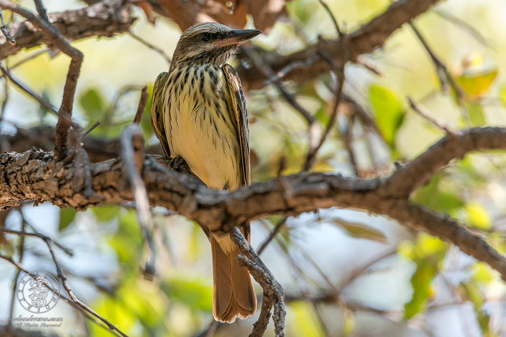 Sulphur-bellied Flycatcher (Myiodynastes luteiventris) perched in Oak tree.
