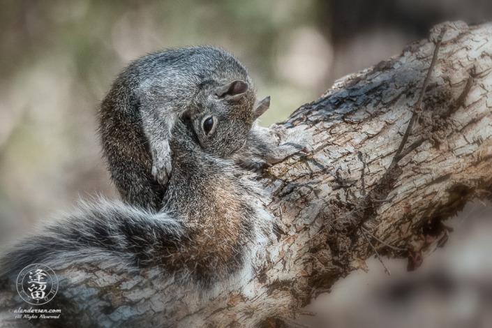 Arizona Gray Squirrel (Sciurus arizonensis) grooming itself on a tree limb.
