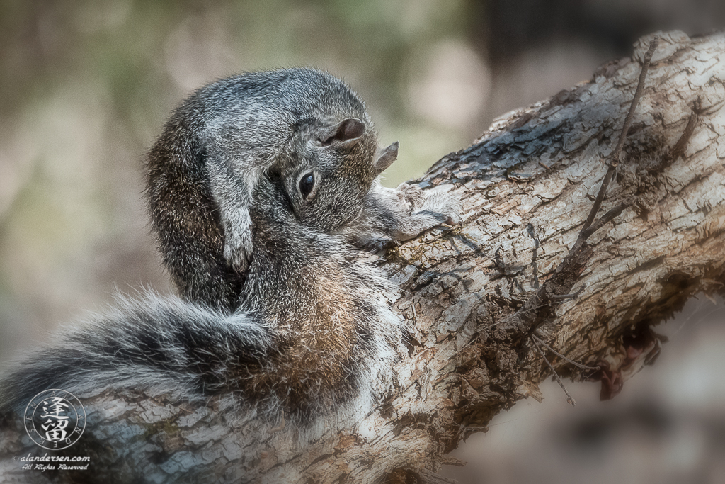 Arizona Gray Squirrel (Sciurus arizonensis) grooming itself on a tree limb.