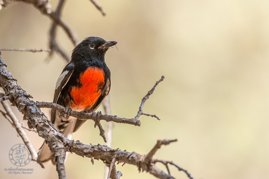 Painted Redstart (Myioborus pictus) perched in Oak tree.