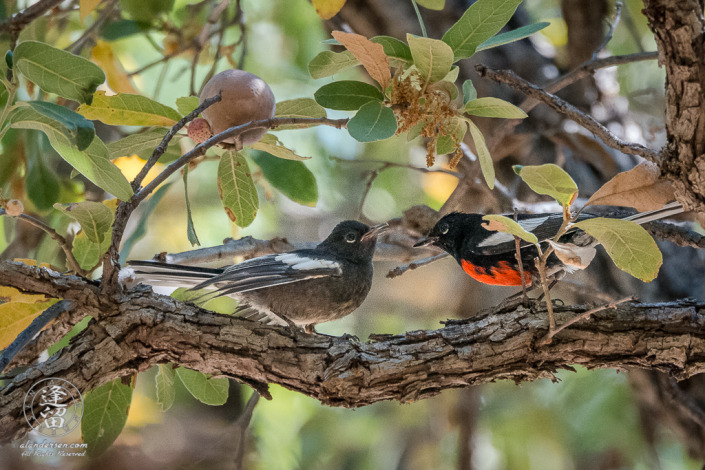 Painted Redstart (Myioborus pictus) adolescent, on an Oak tree limb, beseeching to be fed by adult