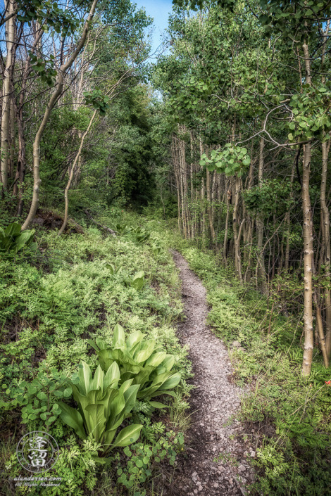 Aspen-lined trail to Carr Peak in the Huachuca Mountains of Southeastern Arizona.