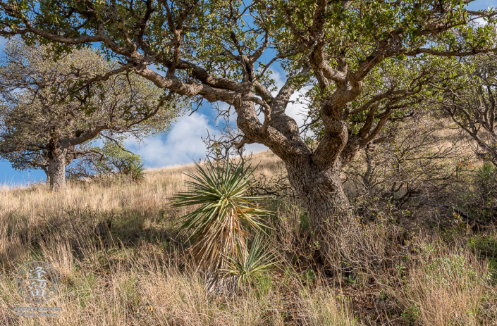 Oak tree and Yucca on grassy hillside.