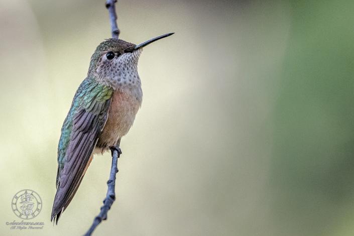 Small Broad-tailed Hummingbird (Selasphorus platycercus) clinging to evergreen limb.