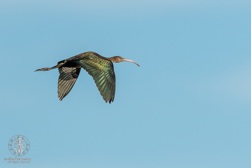 White-faced ibis (Plegadis chihi) flying overhead in early morning light.
