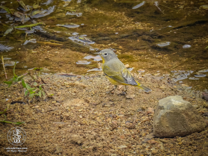 Nashville Warbler (Oreothlypis ruficapilla) posing while drinking from the creek at upper Brown Canyon in the Huachuca Mountains of Southeastern Arizona.