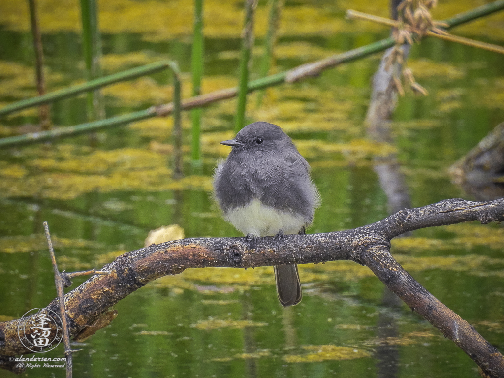 Black Phoebe (sayornis nigricans) searching surroundings from a perch that overlooks a pond.