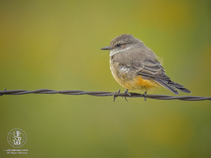 Female Vermilion Flycatcher(Pyrocephalus rubinus) perched on a strand of barbed-wire as it surveys the immediate area for its next meal.