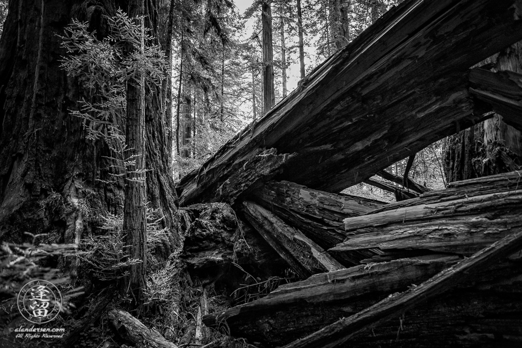 Massive trunk of fallen Redwood tree at Jedediah Smith Redwood State Park in Northern California.