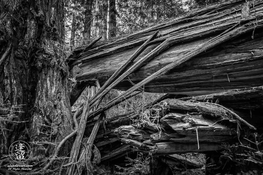 Split and twisted trunk of fallen Redwood tree at Jedediah Smith Redwood State Park in Northern California.