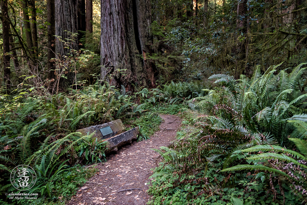 Bench amongst ferns on Leiffer Loop Trail at Jedediah Smith Redwood State Park in Northern California.
