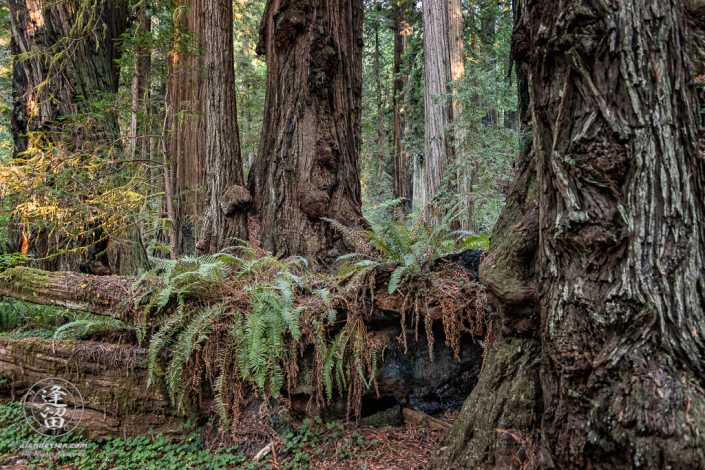 Ferns growing on trunk of fallen Redwood tree at Jedediah Smith Redwood State Park in Northern California.