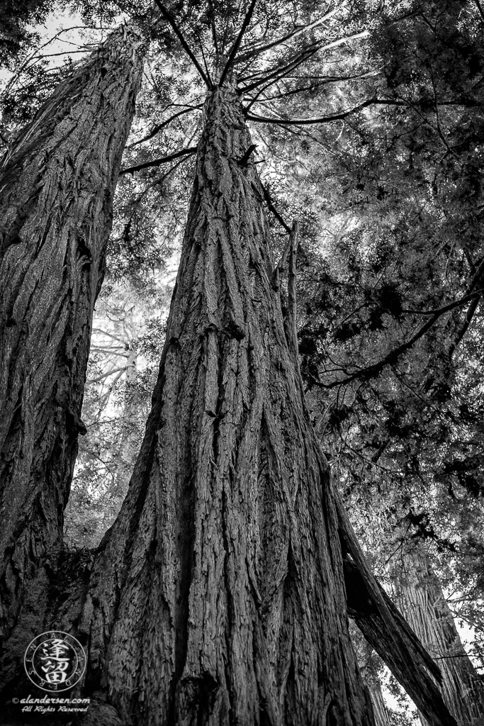 Dizzy view looking up two cojoined Redwood tree trunks at Jedediah Smith Redwood State Park in Northern California.