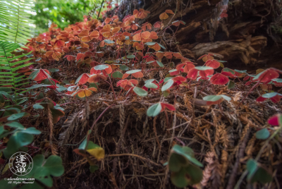 Closeup of ecosystem on fallen Redwood log: ferns, moss, and Redwood Sorrel (Oxalis oregana).