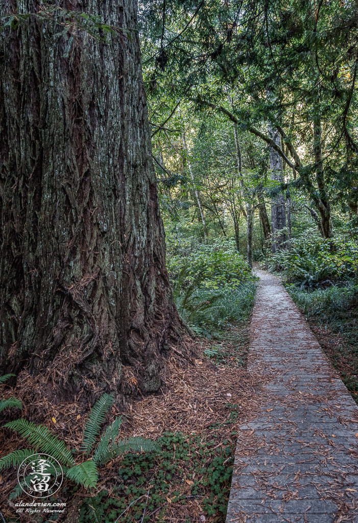 A boardwalk provides dry safe access across a gully on the Leiffer Loop Trail at Jedediah Smith Redwood State Park, part of the Redwood National And State Parks, near Crescent City in Northern California.