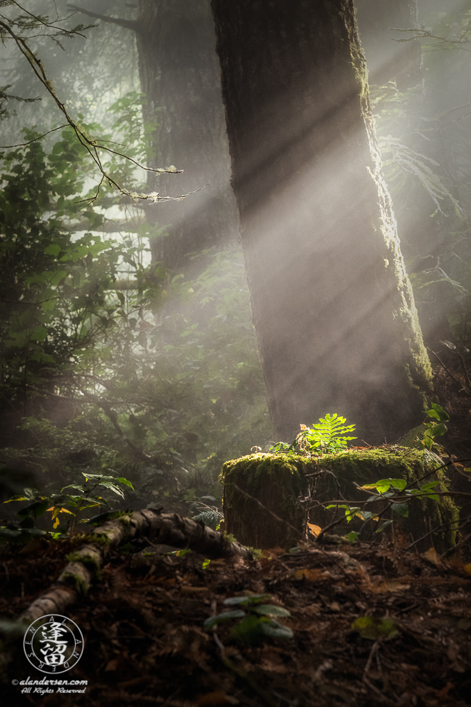 Sunbeams fall on solitary fern growing on redwood stump at Del Norte Coast Redwoods State Park in Northern California.