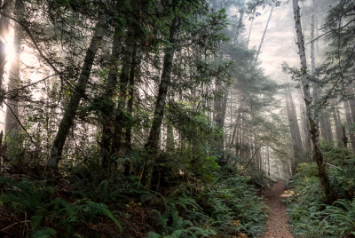 Morning coastal mist blankets the tops of the trees at Del Norte Coast Redwoods State Park in Northern California.