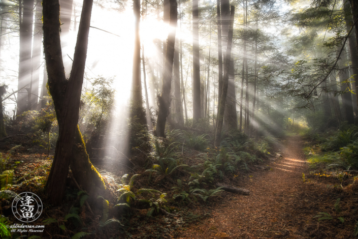 Morning coastal mist and sunbeams through redwood tree trunks at Del Norte Coast Redwoods State Park in Northern California.
