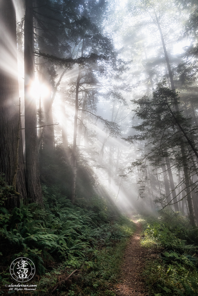 The morning coastal mist silently drifts through the alder and redwood trees along the Last Chance Coastal Trail at Del Norte Coast Redwoods State Park, part of the Redwood National And State Parks, near Crescent City in Northern California.