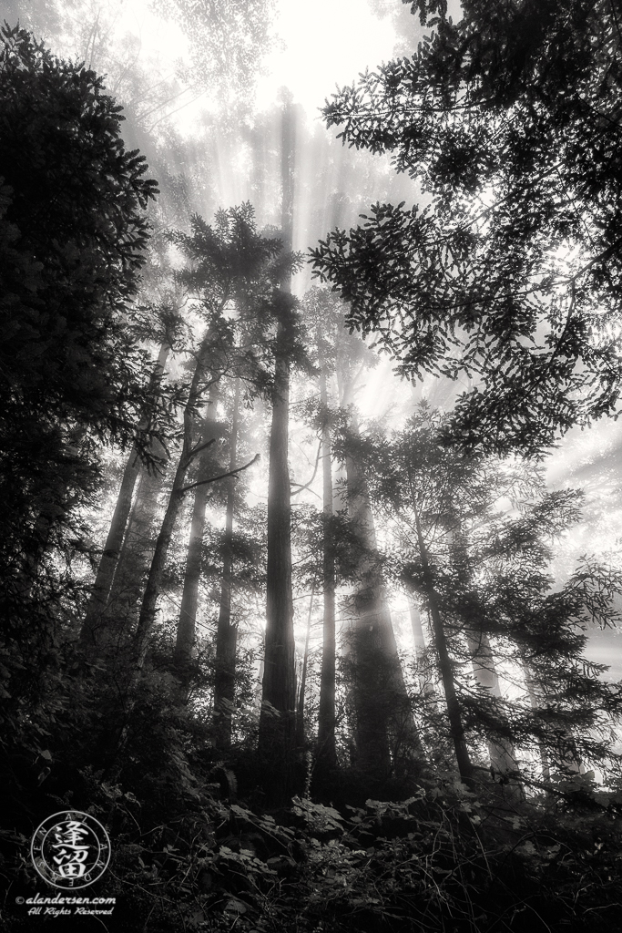 Morning coastal mist drifting through alder and redwood trees at Del Norte Coast Redwoods State Park in Northern California.