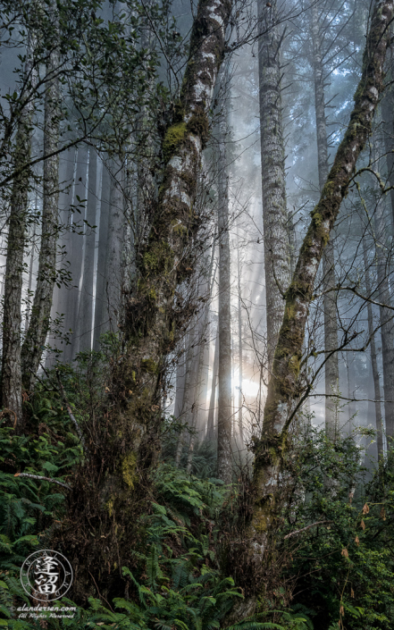 Sunrays and coastal mist in Alder at Del Norte Coast Redwoods State Park in Northern California.