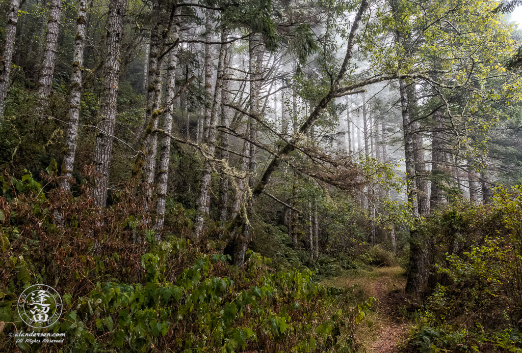 A grove of Alder trees, blanketed with morning coastal mist, along the Last Chance Coastal Trail at Del Norte Coast Redwoods State Park, part of the Redwood National And State Parks, near Crescent City in Northern California.