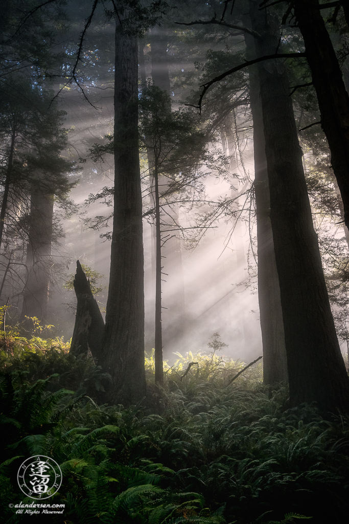 Morning coastal mist drifting through the redwood trees at Del Norte Coast Redwoods State Park in Northern California.