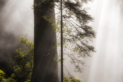 Coastal mist envelopes redwood trees at Del Norte Coast Redwoods State Park in Northern California.