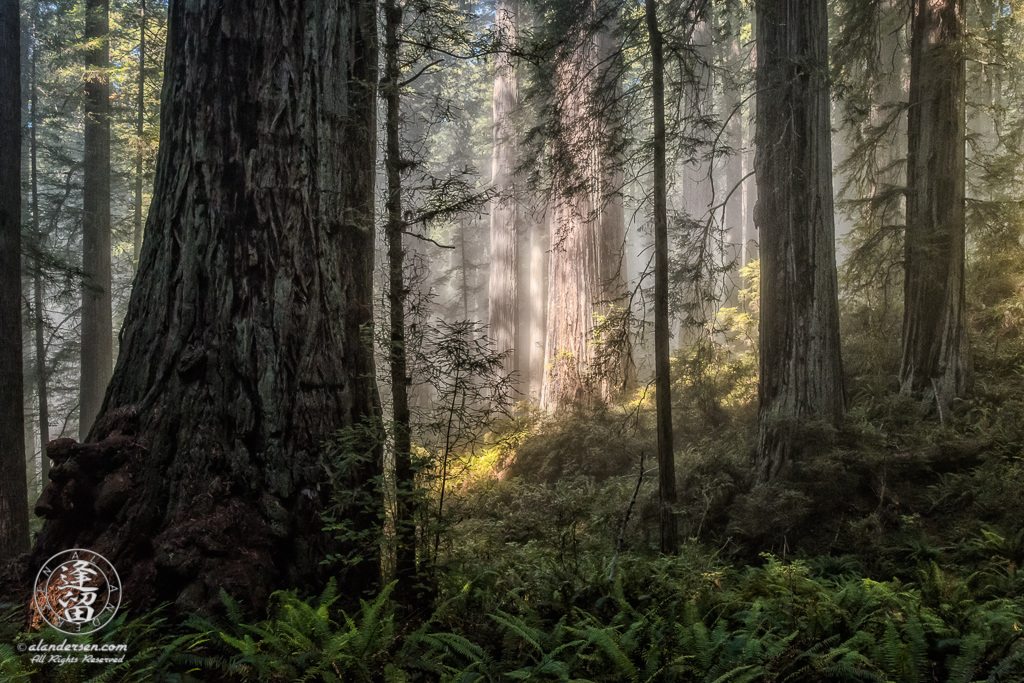 Coastal mist silently drifts through the redwood trees at Del Norte Coast Redwoods State Parkity in Northern California.