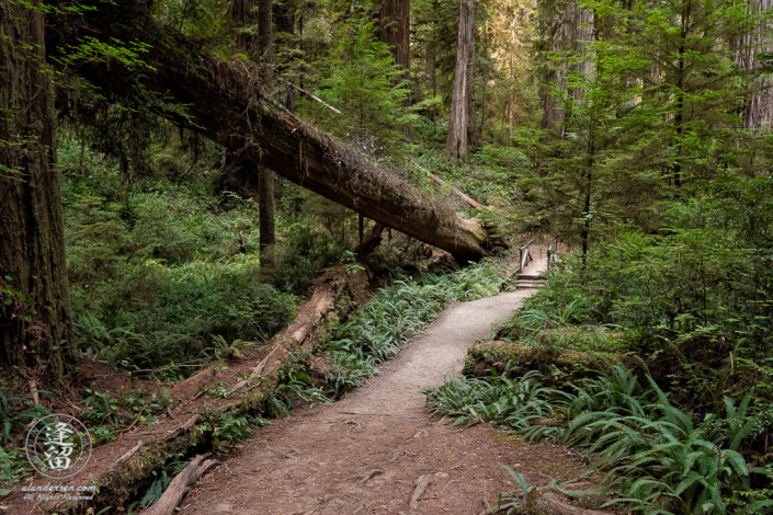 Small wooden bridge on Boy Scout Trail at Jedediah Smith Redwood State Park near Crescent City in Northern California.