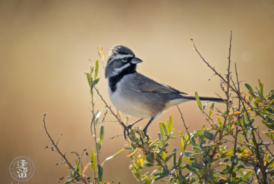 Black-throated Sparrow (Amphispiza bilineata) perched on a shrub in the San Pedro Riparian National Conservation Area outside of Sierra Vista, Arizona.