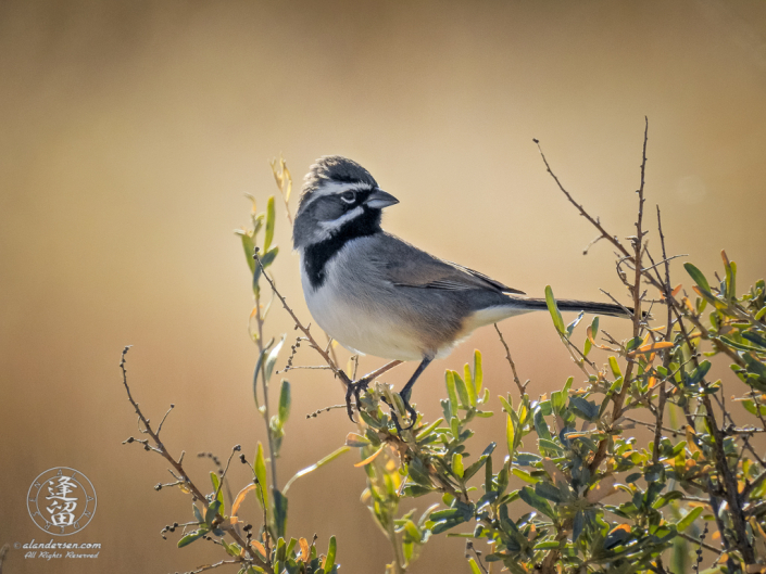 Black-throated Sparrow (Amphispiza bilineata) perched on a shrub in the San Pedro Riparian National Conservation Area outside of Sierra Vista, Arizona.