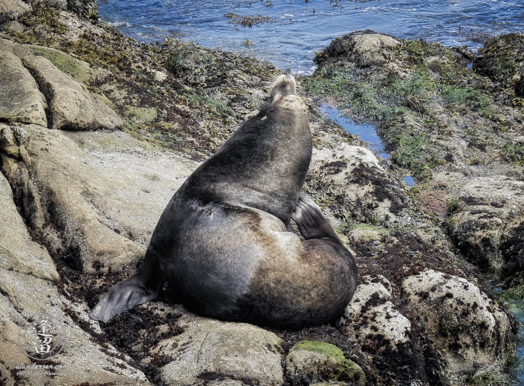 California Sea Lion (Zalophus californianus) taking a scratch break on rocks below North Cove Trail at Cape Arago in Oregon.