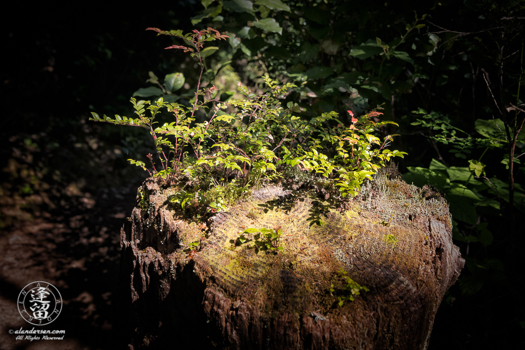 New plants sprouting from old cedar stump at South Slough National Estuarine Research Reserve in Charleston, Oregon.