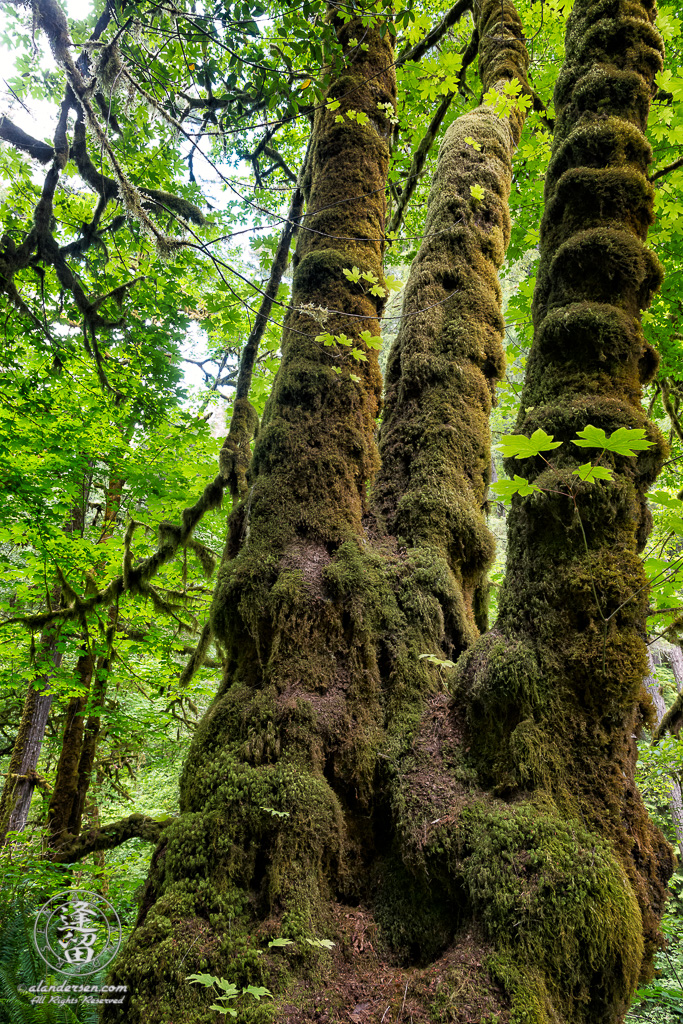 Moss-covered trees along the path to Silver Falls at Golden and Silver Falls State Natural Area near Allegany, Oregon