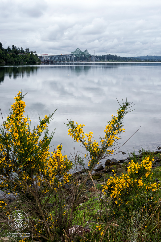 McCullough Memorial Bridge on US101, framed with Scotch Broom flowers, just north of North Bend, Oregon.
