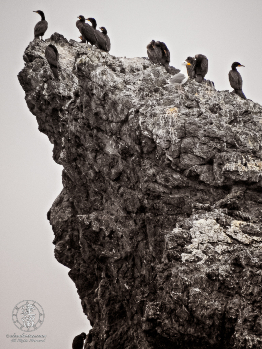 Cormorants and solitary seagull hanging out atop Seastacksnear Coquille point at Bandon in Oregon.
